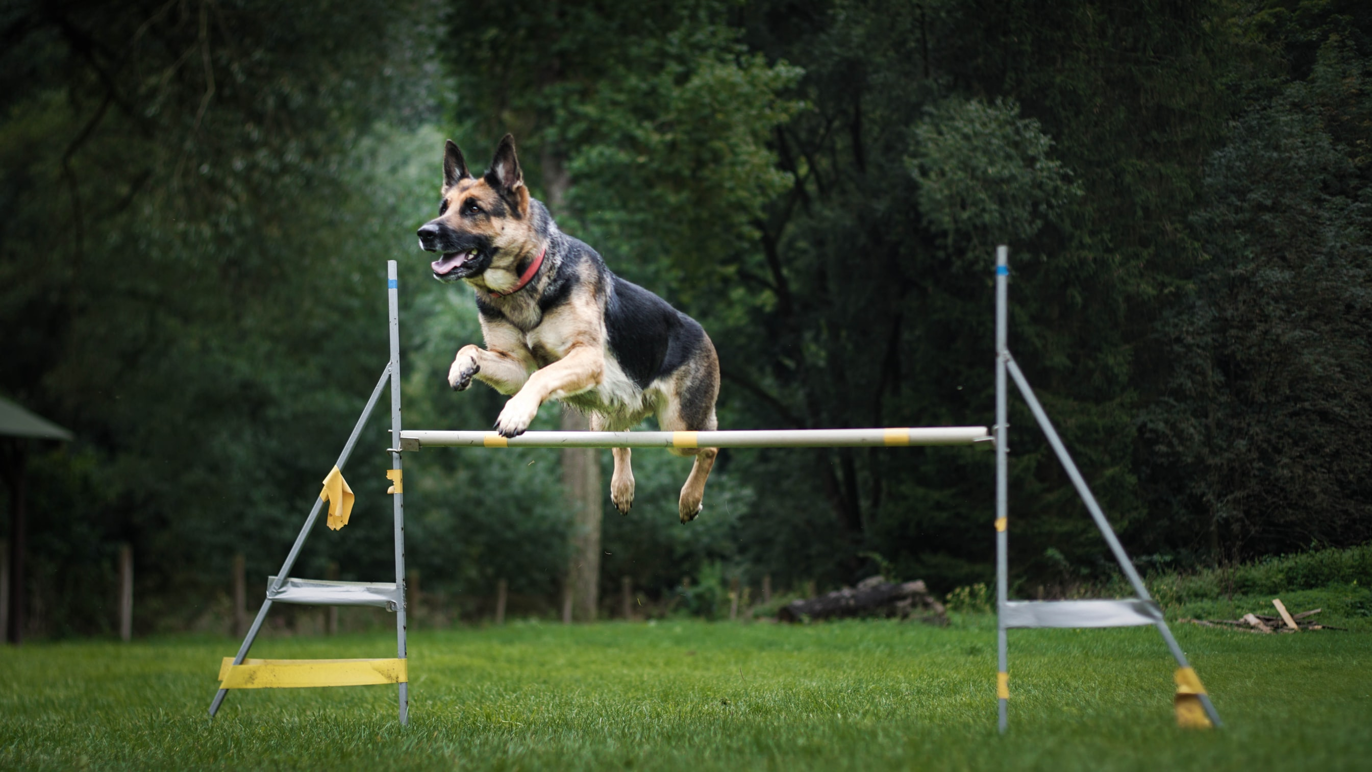 Dog Jumping Healthy Joints