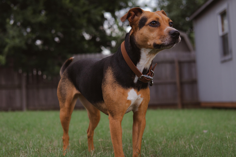 Dog in Backyard