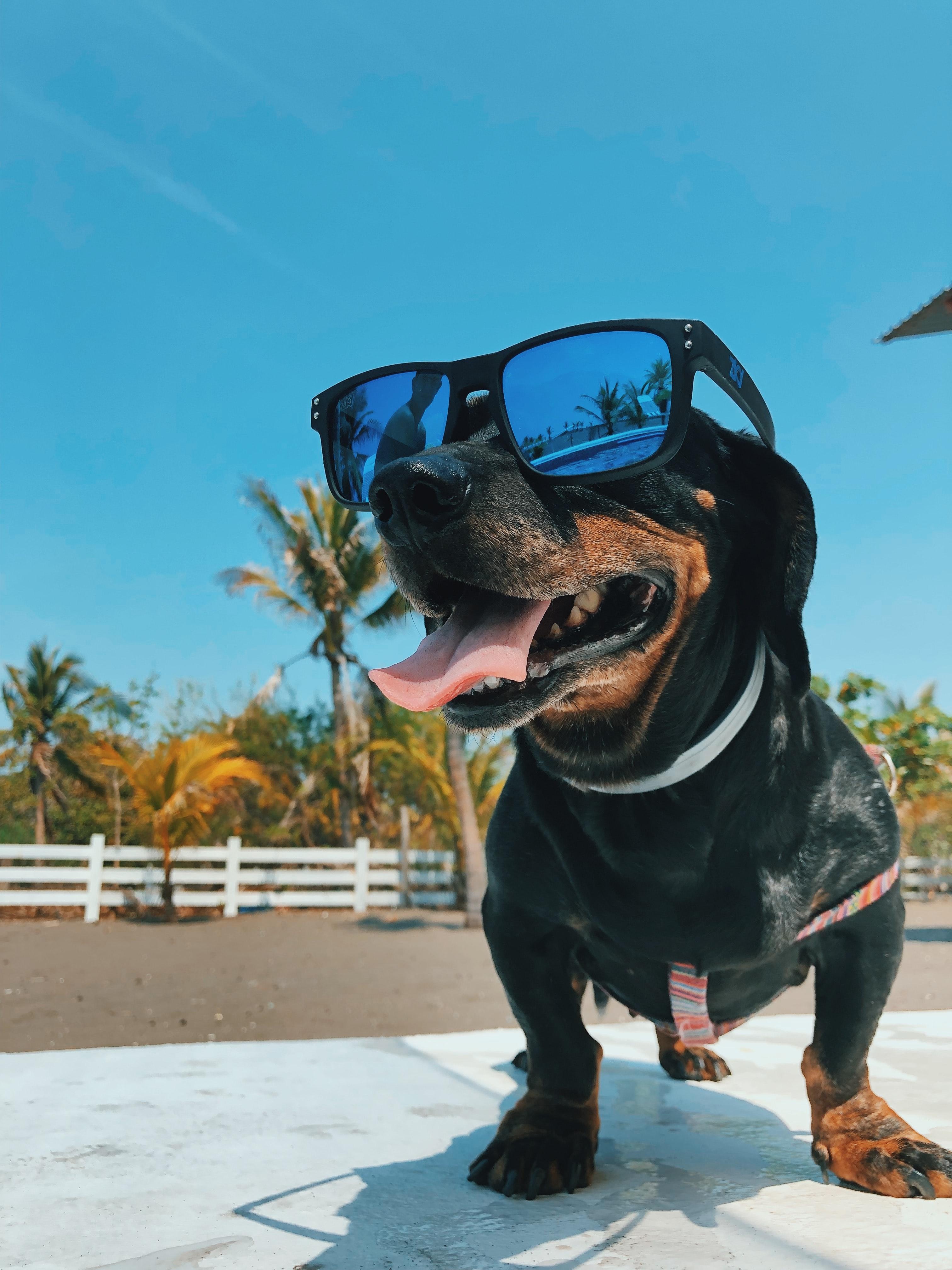 sunglasses on dog